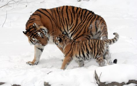 A photo of a Siberian Tiger and cub, which is on the endangered species list.