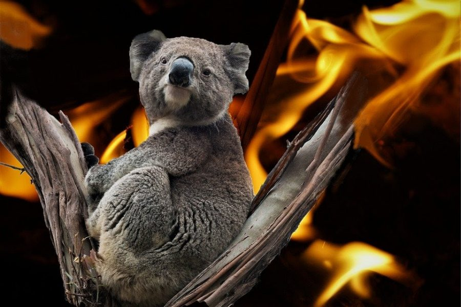 A koala sits amid the fires